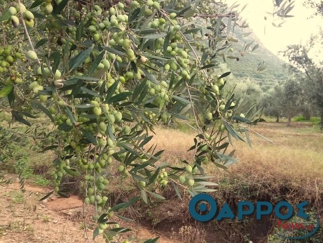 Ελαιοκαλλιέργεια: Πρόσθετες ενισχύσεις για μικρές εκτάσεις και νέα ειδικά προγράμματα