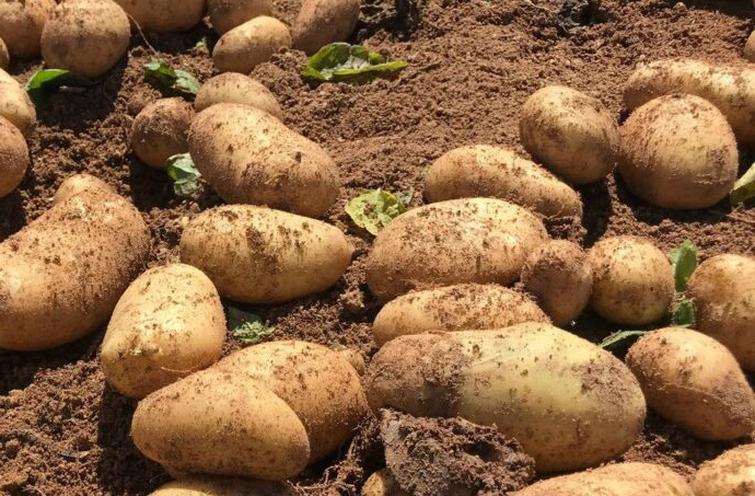 Οδηγίες προς πατατοπαραγωγούς εν  όψει συγκομιδής ανοιξιάτικης πατάτας