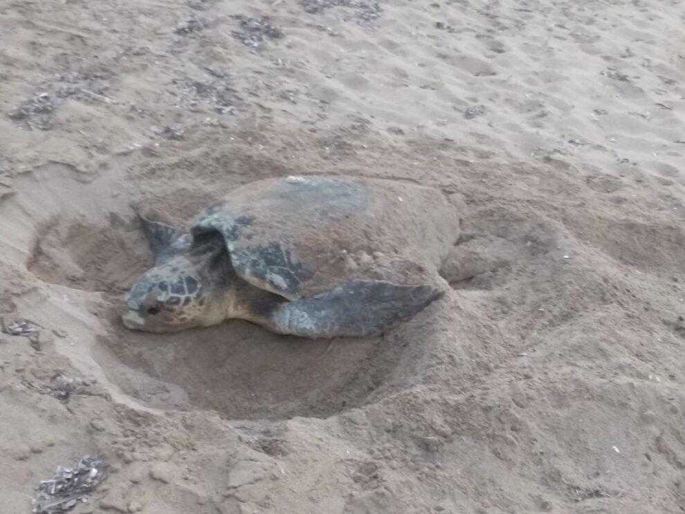 Ξεπέρασαν τις 100 οι χελωνοφωλιές στην περιοχή της Κορώνης!