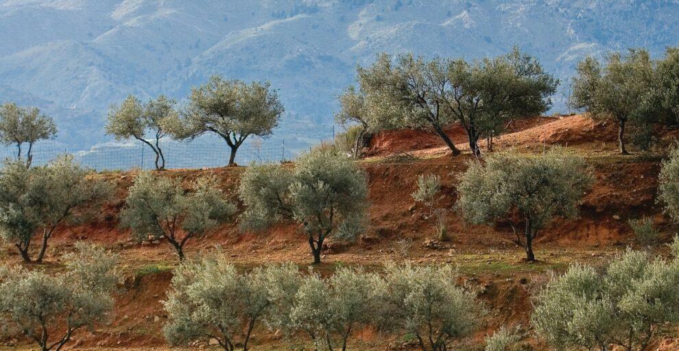 Η εικόνα της ελαιοπαραγωγής στη Μεσσηνία – Εγκατάλειψη γης και εργάτες τα μεγαλύτερα προβλήματα