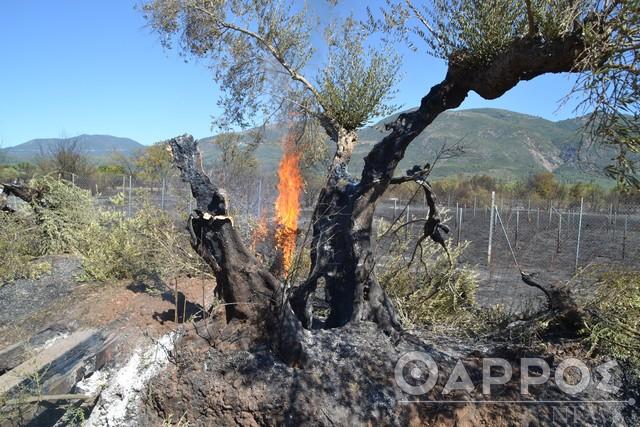 """Διαβολίτσι: Χιλιάδες ελαιόδεντρα """"επλήγησαν"""" από την πυρκαγιά"""