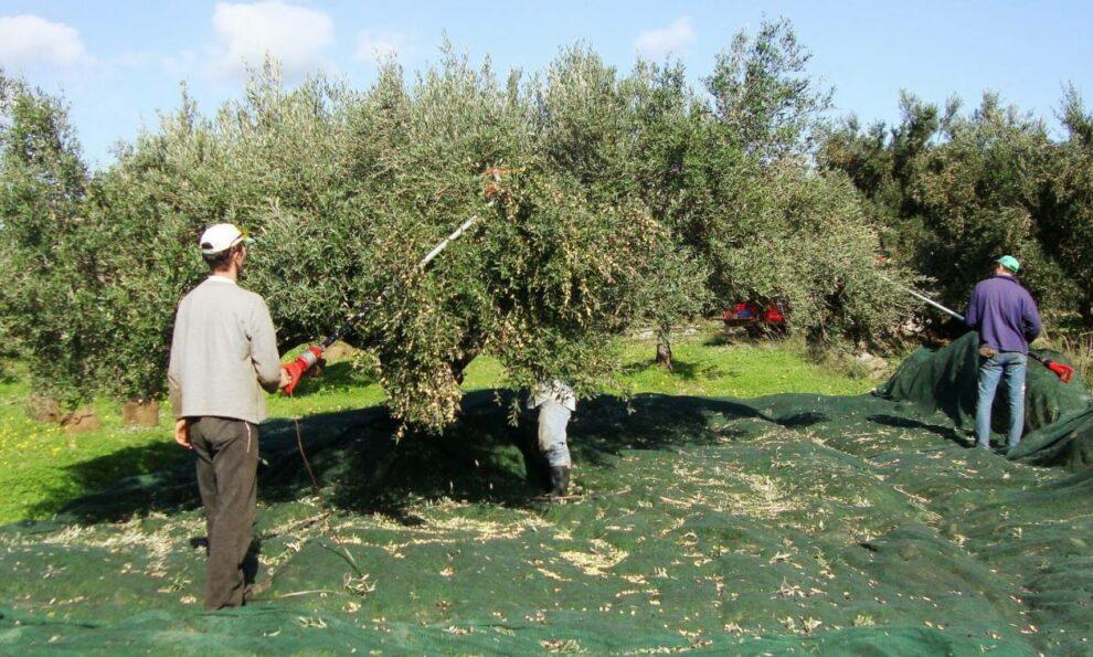 Έντονη ανησυχία για την έλλειψη εργατών γης και τη συγκομιδή της μαυρολιάς να ξεκινάει
