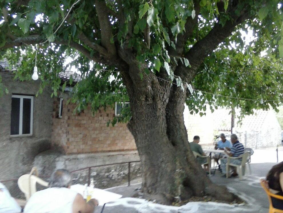 Δέντρα μνημεία της φύσης σε Μαγγανιακό και Άνω Κοντογόνι Μεσσηνίας