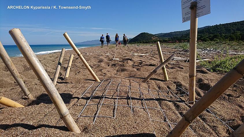 Κυπαρισσιακός: Ανέλπιστα μεγάλος αριθμός φωλιών καρέτα στις παραλίες ωοτοκίας