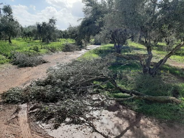 Μεγάλες ζημιές και ξεριζωμένα ελαιόδεντρα στους Δήμους Μεσσήνης & Πύλου – Νέστορος απ' την κακοκαιρία