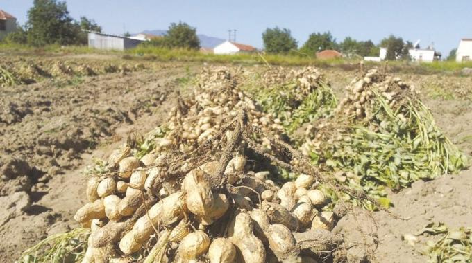 Μειωμένες αποδόσεις  για την αραχίδα στη Μεσσηνία