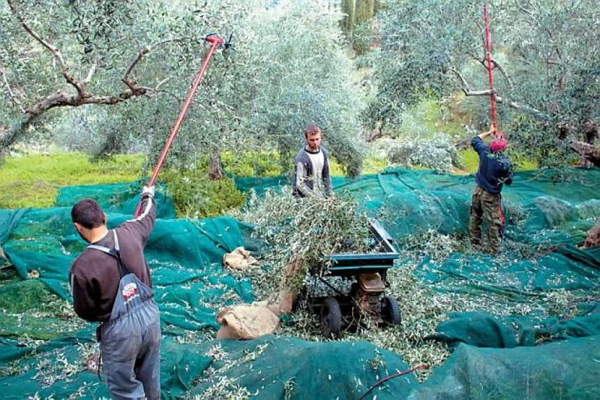 Νέες διευκρινίσεις στις μετακινήσεις για το μάζεμα της ελιάς
