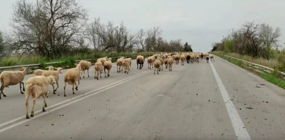 Κοπάδι πρόβατα στην Ε.Ο. Πατρών – Πύργου
