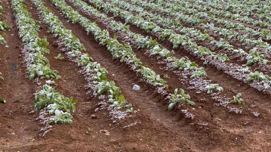 Ζημιές από τον παγετό στις καλλιέργειες