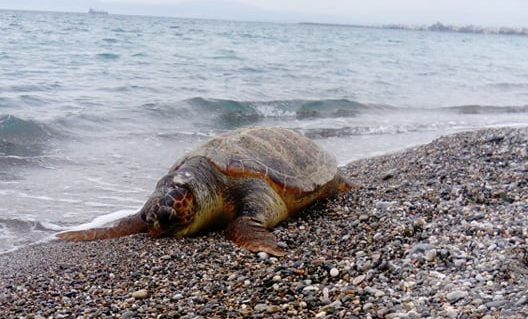 Δύο θαλάσσιες χελώνες εντοπίστηκαν νεκρές στην ακτή της Καλαμάτας