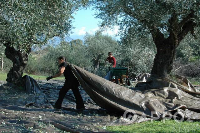 Ο Έλληνας ελαιοπαραγωγός έχει τη φθηνότερη τιμή της Μεσογείου
