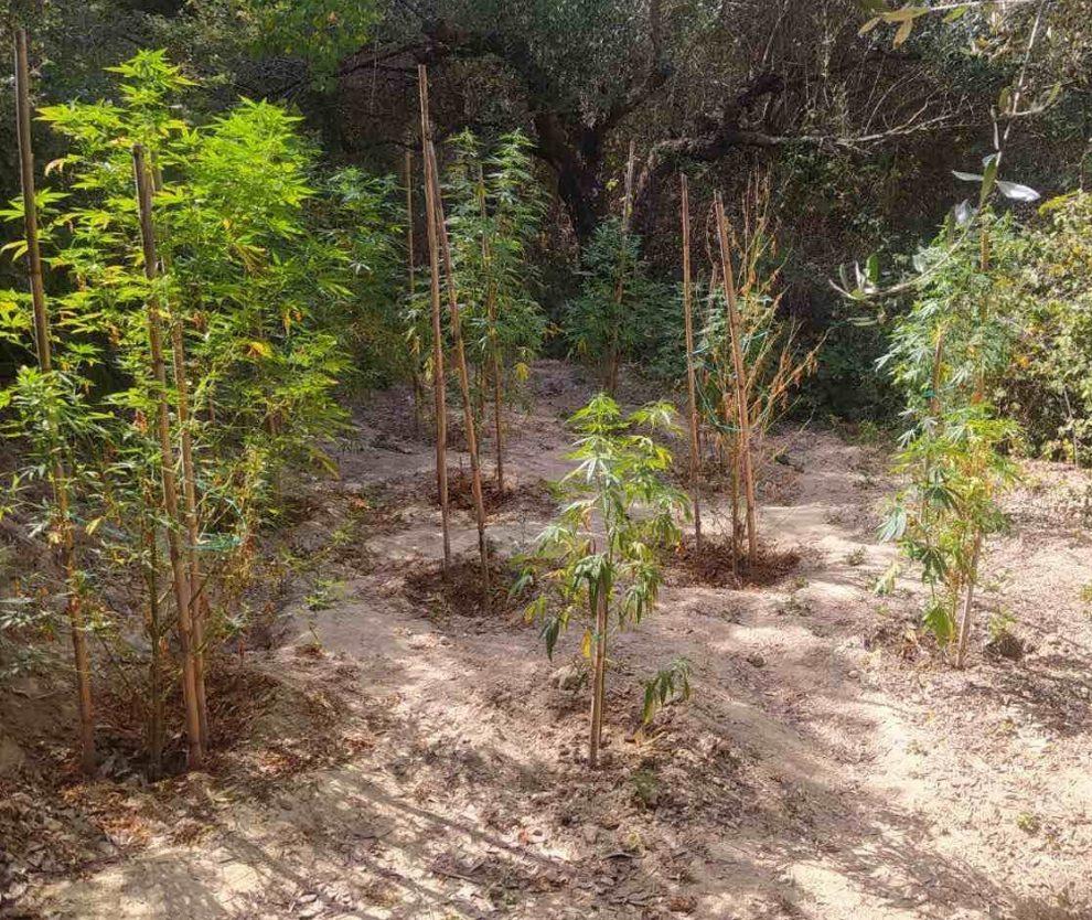 Χασισοφυτείες και ναρκωτικά στην Τριφυλία
