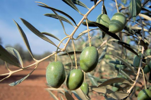 Παγετοί και καύσωνες εξαντλούν τα ελαιόδεντρα -Στα τάρταρα η παραγωγή της νέας χρονιάς
