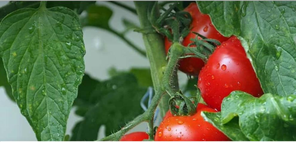 Nτομάτα Τριφυλίας: Μειωμένη παραγωγή αλλά καλή ποιότητα και τιμή